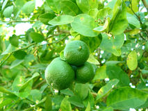 Green lime on tree and there& x27;s leaves. Green lime on tree and there leaves. Delicious ingredients for cooking and juice for healthy stock images