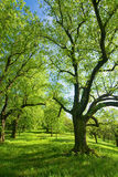 Green lime trees Royalty Free Stock Photo