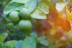 Green limes lemon hanging on the lime tree branch. In the garden stock photos