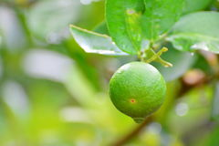 Green limes are on lemon tree at wet rain water drops and have a Stock Photo