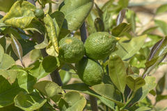 Green Limes Royalty Free Stock Photo