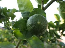 Green limes on a tree. Close up shoot of lime on a lime tree, Green limes on a tree stock photos