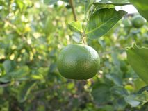 Green limes on a tree. Close up shoot of lime on a lime tree, Green limes on a tree stock photo