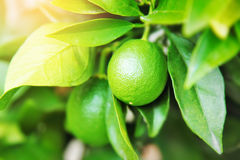 Green limes on the tree Stock Photos