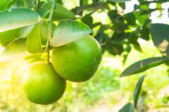 Green limes on a tree. Lime is a hybrid citrus fruit.  stock photos