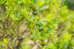 Green limes on a tree. Lime is a hybrid citrus fruit, which is typically round, about 3-6 centimeters in diameter and. Containing acidic juice vesicles. Limes royalty free stock images