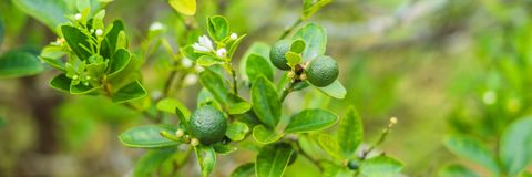 Green limes on a tree. Lime is a hybrid citrus fruit, which is typically round, about 3-6 centimeters in diameter and. Containing acidic juice vesicles. Limes stock photography