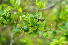 Green limes on a tree. Lime is a hybrid citrus fruit, which is typically round, about 3-6 centimeters in diameter and. Containing acidic juice vesicles. Limes stock images
