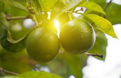 Green limes. stock images