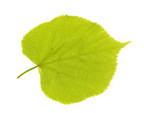 Green linden leaf Stock Images