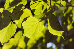 Green linden leaf backlit by the sun Royalty Free Stock Images