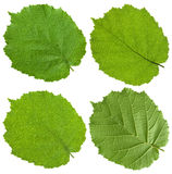 Green Linden leaf Royalty Free Stock Photography