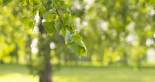 Green linden leaves sways in the wind. Wide photo Stock Photo