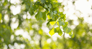 Green linden leaves sways in the wind. Wide photo Royalty Free Stock Photos