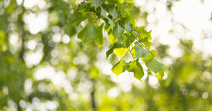 Green linden leaves sways in the wind. Wide photo Royalty Free Stock Photo