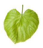 Green linden-tree leaf Stock Images