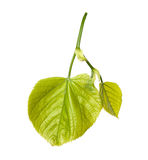 Green linden-tree leafs Royalty Free Stock Image