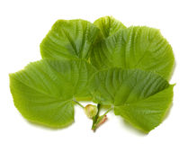 Green linden-tree leafs Royalty Free Stock Images