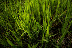 Green Linear Grass Stock Images
