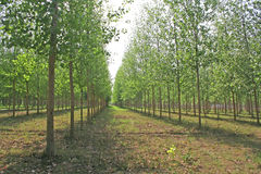 Green lined tree farming. Cultivated tree farming technique Royalty Free Stock Photos