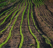 Green lines in a field Stock Photo