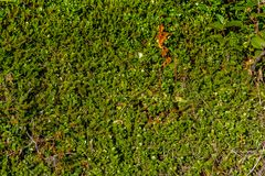 Green lingonberry carpet. Green leafs of lingonberry on sunny day Royalty Free Stock Photo