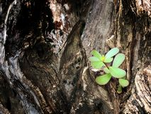 Little branch growing from big tree Stock Photography