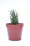 Green little cactus Royalty Free Stock Photography