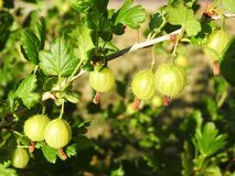 Small gooseberry before ripen in summer, Lithuania stock photo