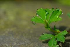 Green little plant with water drops on a stone royalty free stock image