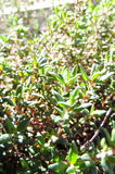 Green Live Thyme Plant Royalty Free Stock Image