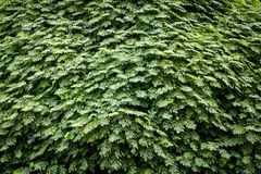 Green live wall. Royalty Free Stock Image