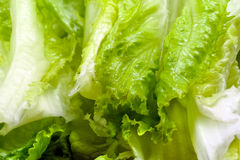 Green lively lettuce Turkish marul close up Royalty Free Stock Image