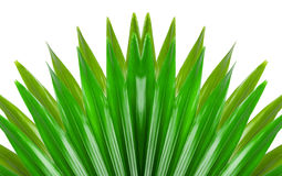 Green livistona on white background Stock Images