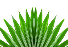 Green livistona on a white background Stock Photos