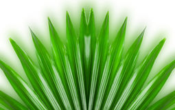 Green livistona on white background Stock Photo