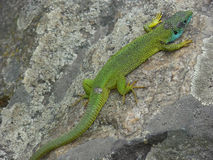 Green lizard. A green lizard warms up on a stone stock photography