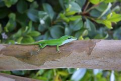 Green Lizard. A green tree lizard looking for a little food just before sunset Stock Image