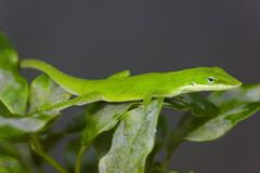 Green Lizard. Sitting on the bush close-up royalty free stock images