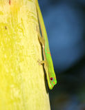 Green lizard Royalty Free Stock Image