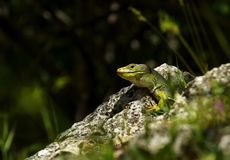 Green lizard. (lacerta viridis) resting on a sunshine between rocks Royalty Free Stock Images