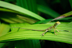 Green Lizard Stock Photography