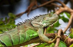 Green lizard Stock Images