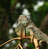 Green lizard. Sleeping on branch Royalty Free Stock Images
