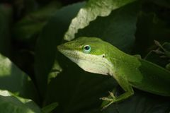 Green Lizard Stock Image