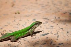 Green Lizard. A Green Lizard in Paraguay Stock Photos