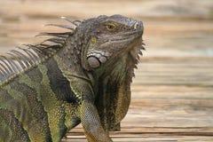 Green Iguana. A green Iguana or Common Iguana (Iguana iguana Royalty Free Stock Photography