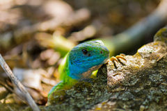 Free Green Lizard Royalty Free Stock Photos - 22131608
