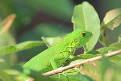 Free Green Lizard Royalty Free Stock Photos - 22734578