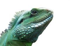 Green lizard. Green lizard on a white background Stock Image